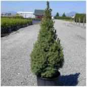 Inline Nurseries Dwarf Alberta Spruce in  #3Pot