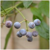 Plant de bleuets en pot n° 1, assorti