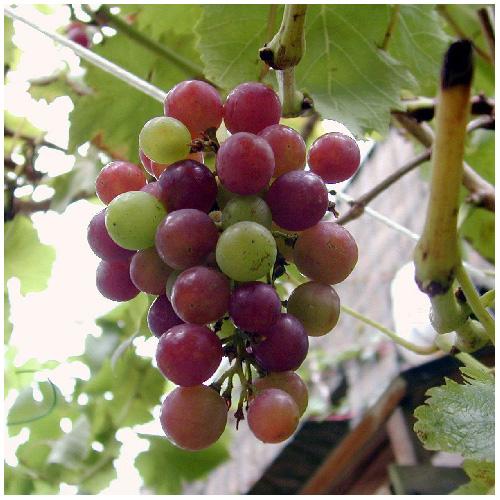 Plant de raisin assortis, pot no° 1