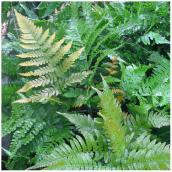 Hardy Fern - # 1 Pot - Assorted