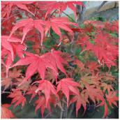 Ornamental Maple Upright Tree in #7 Pot - Assorted