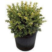 Boxwood in #3 Pot - Assorted