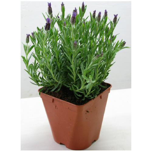 Assorted Lavender - # 1 Pot