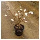 Magnolia, pot n° 2, couleurs assorties
