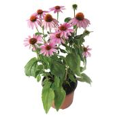 Assorted Perennials - 4-in Pot