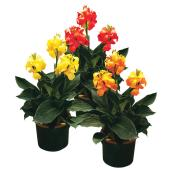 Lys canna assorti, pot de 3 gallons