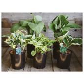 Assorted Hosta - 1-Gallon Pot