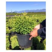 Buxus assorti, pot de 2 gallons