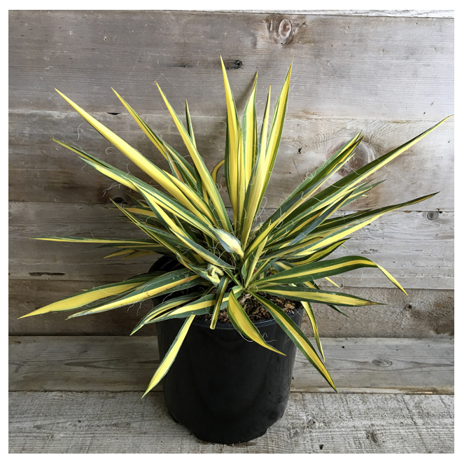 Assorted Outdoor Yucca - 2-Gallon Container