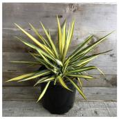 Assorted Outdoor Yucca - 2-gal. Container