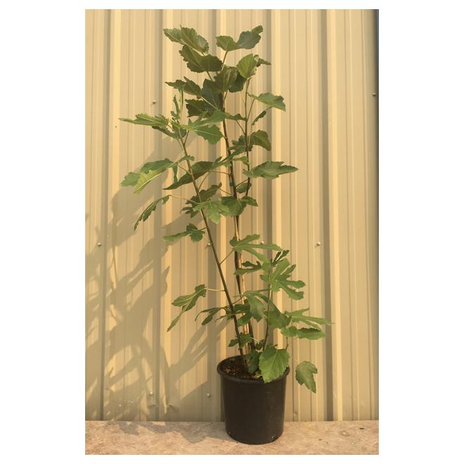 Ficus assorti, 3 gallons