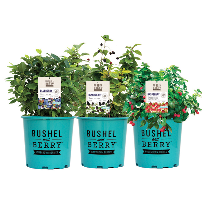 Assorted Fruit Bush - 1-Gallon Pot