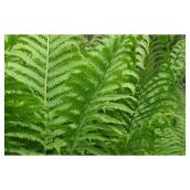 Assorted Ferns - 2-Gallon Container