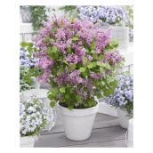 Arbuste Lilas, Green Plus Nurseries, pot #2, assorti