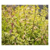 Cornus, pot de 2 gallons