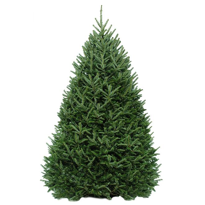 Green Plus Nurseries Cut Balsam Fir - 5 to 6-ft - Green