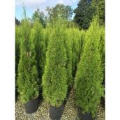 Cèdre émeraude Green Plus Nurseries, 7 gallons