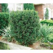 Green Plus Nurseries - Hicks Yew - 3 gal.