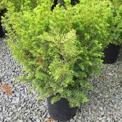 Dwarf Golden Yew 3 Gallons