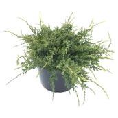 Nana Juniper - 3-Gallon Pot