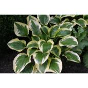 Hosta, Green Plus Nurseries, 2 gal., couleurs assorties