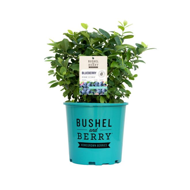 Plant de bleuets Peach Sorbet, 1 gallon