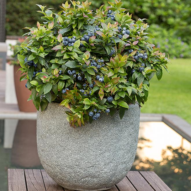 Decorative Fruit Shrub - Jelly Bean Blueberries - 1 Gallon