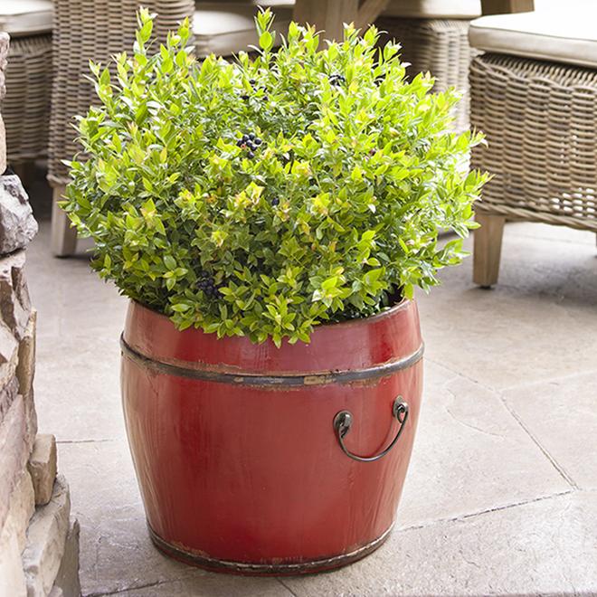 Decorative Fruit Shrub - Glaze Blueberries - 1 Gallon