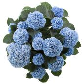 Green Plus Nurseries - Hydrangea - 9""