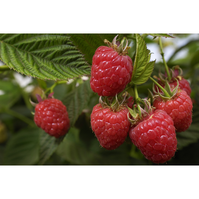 Kokanee Raspberry - 1 Gallon