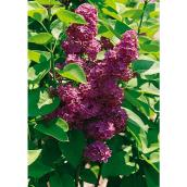 French Lilac - 3-gal.