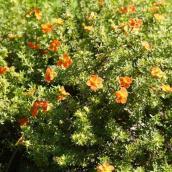Potentilla Sunset - 2-Gallon Grower Pot - Orange Flowers