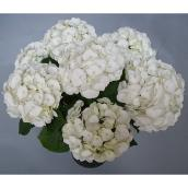 Hydrangea Sister Theresa - 2-Gallon Container