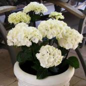 Hydrangea Vanilla Sky, pot de 2 gallons