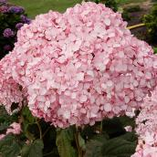 Hydrangée Pinkerella, 2 gal, rose