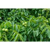Juglans Walnut Tree - 5 Gallons