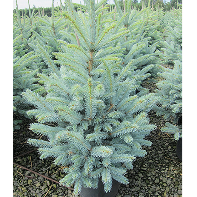 Baby Blue Spruce - 2-Gallon Container