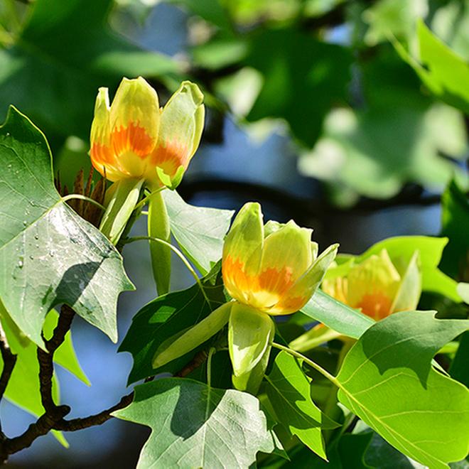 Tulipier, contenant de 5 gallons