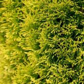 Thuja Highlights - 2-Gallon Grower Pot