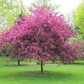 Green Plus - Kwanzan Cherry Tree - 7 Gal