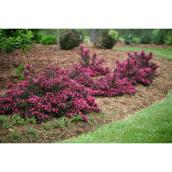 Arbuste Weigela Spilled Wine, 2 gallons