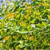 Lonicera Mandarin, Green Plus, pot de 1 gallon