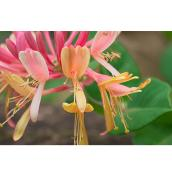 Lonicera Goldflame - 1-Gallon Container