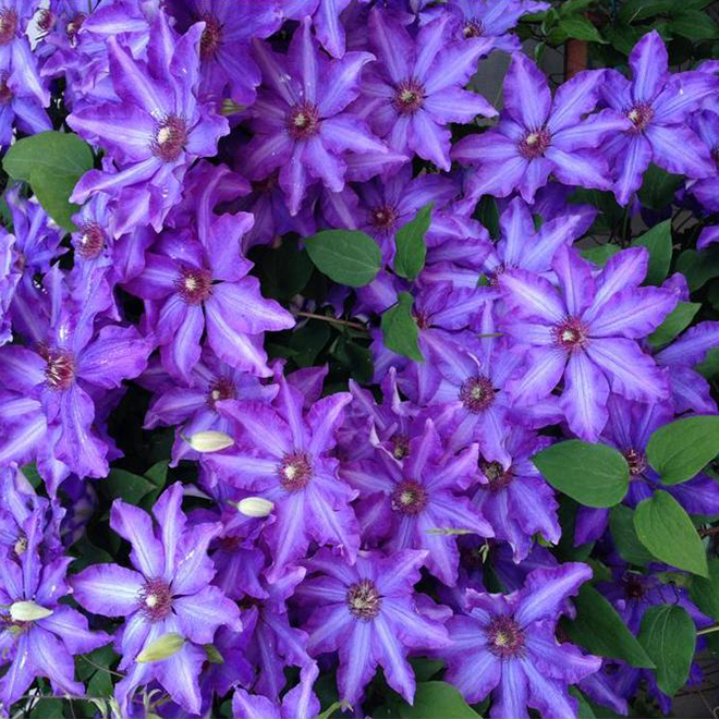 Green Plus Royal Cascade Clematis - 1 Gal Container