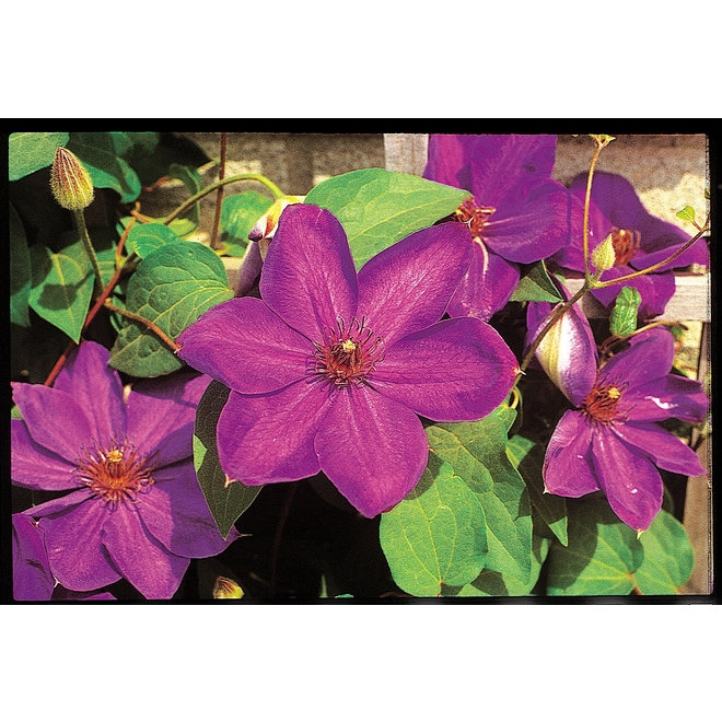 Green Plus Clematis - 2-Gal Container