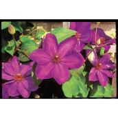 Clematis - 2 Gallons