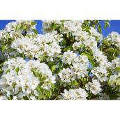 Green Plus Chanticleer Ornemental Pear Tree - 5 gal