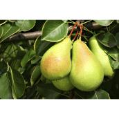 Combo Pear Tree - 10 Gallons