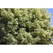 Green Plus Harlequin Maple Tree - 5 Gal - Green and White Foliage