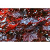 Royal Red Maple Tree - 5 Gal - Dark Red Foliage